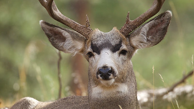 This Mule Deer buck has facial markings that are very unique and beautiful