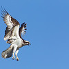Osprey returning to the nest