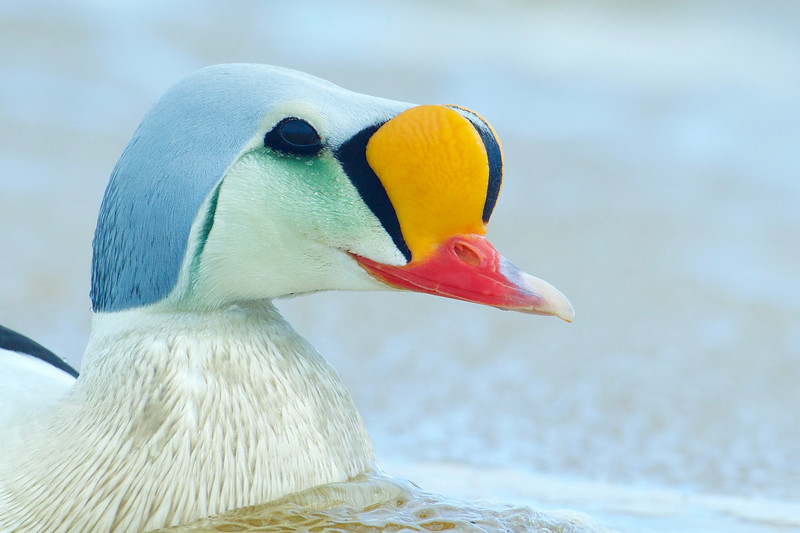 King Eider drake portrait