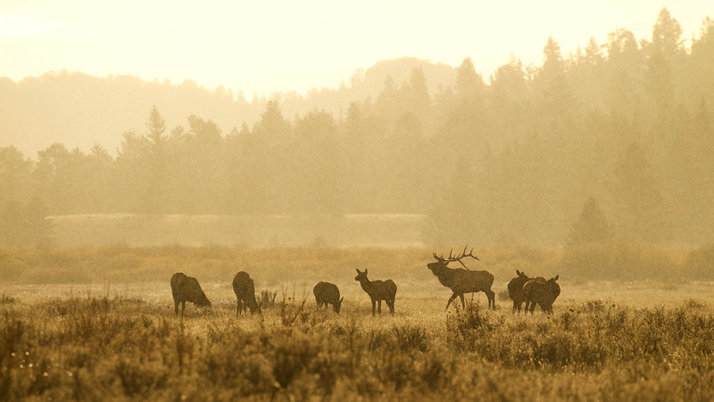 Rocky Mountain Elk - bull with harem during a weather anomaly, bright sunshine and snowfall, simultaneously