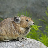 American Pika foraging on the alpine vegetation