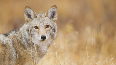 Coyote portrait, taken at 12,000 feet elevation!