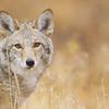 Coyote portrait, taken at 12,000 feet elevation!