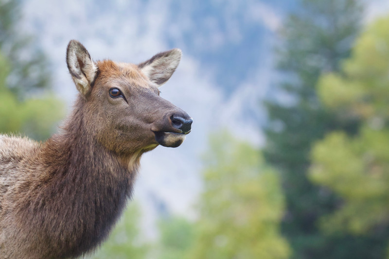 Rocky Mountain Elk portrait