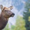 Rocky Mountain Elk portrait