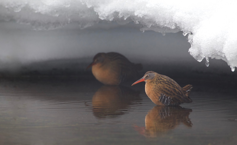 Virginia Rails under an icy overhang