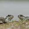 Spadefoot Toads