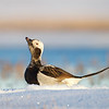 Long-tailed Duck, a.k.a. Oldsquaw, rests on the ice and snow.
