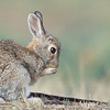 Eastern Cottontail on the prairie