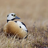 Steller's Eider drake, at rest in tundra vegetation