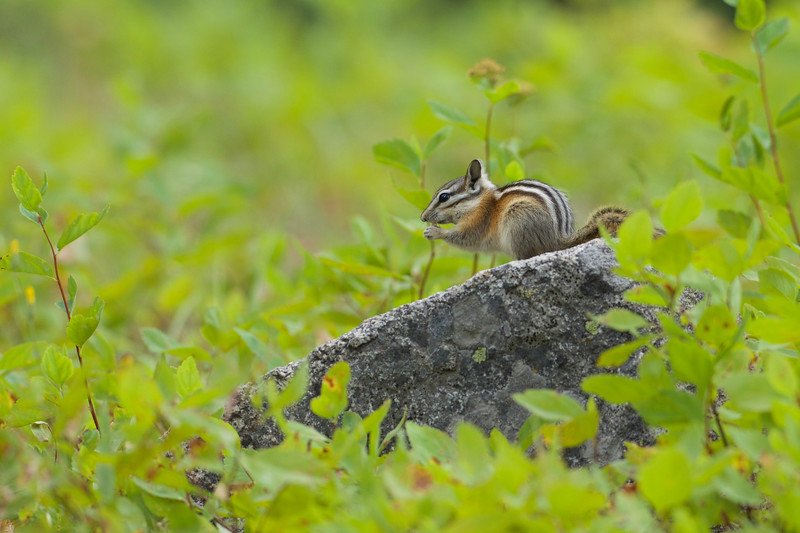 Least Chipmunk foraging in the Okanogan National Forest