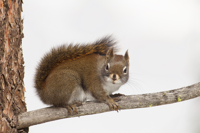 Pine Squirrel, a.k.a. Chickaree, a.k.a. Red Squirrel