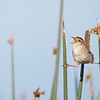 A Marsh Wren does the splits!