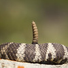Rattlesnake with a couple of broken rattles