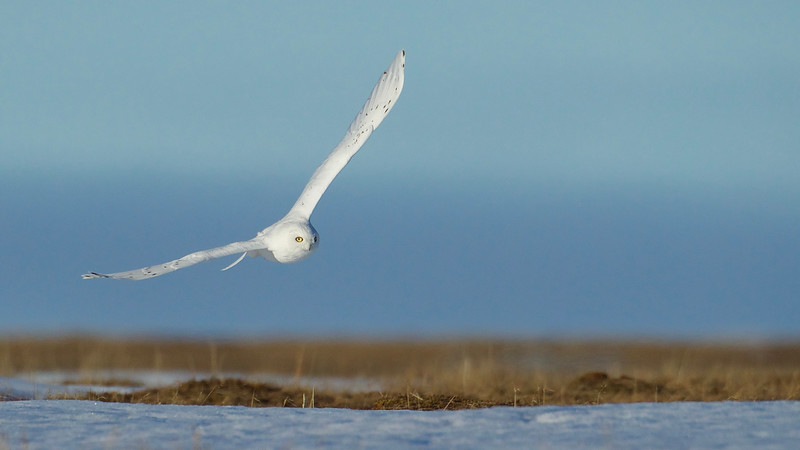 Snowy Owl, flying over its nesting habitat near Barrow, Alaska