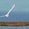 Snowy Owl, flying over its nesting habitat near Barrow, Alaska