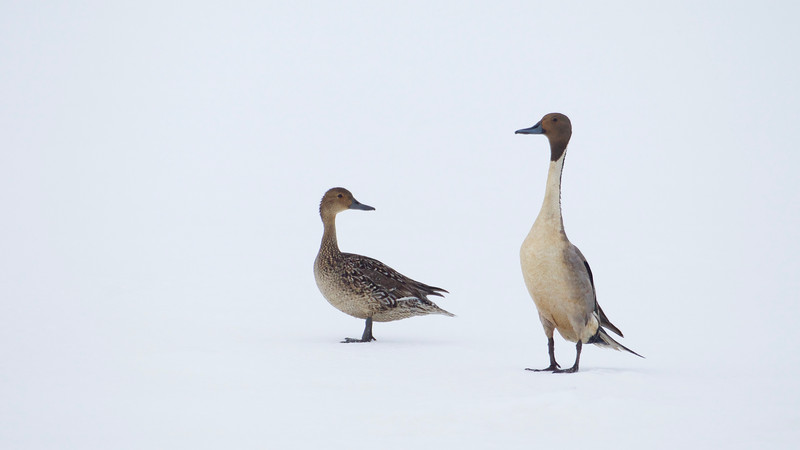 Pintail drake and hen on the snow near Barrow, Alaska