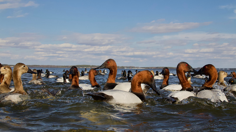 Canvasbacks along the Maryland portion of the DelMarVa Peninsula