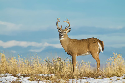 Mountain Whitetail!