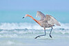 Reddish Egret roams about the surf, searching for prey