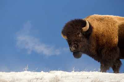 Bull bison on a cold morning.  Yellowstone National Park.
