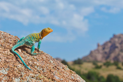 Eastern Collared Lizard, environmental portrait