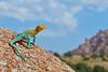 Eastern Collared Lizard, environmental portrait