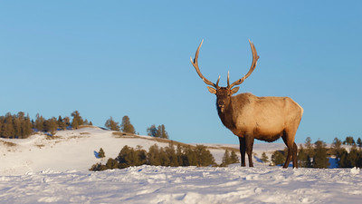 A mature bull Elk still has his antlers on the first day of Spring.  Yellowstone National Park.