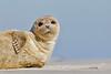 Harbor Seal sunbathes on the beach at Long Beach Island, New Jersey