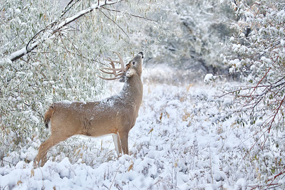 Whitetail buck at a scrape