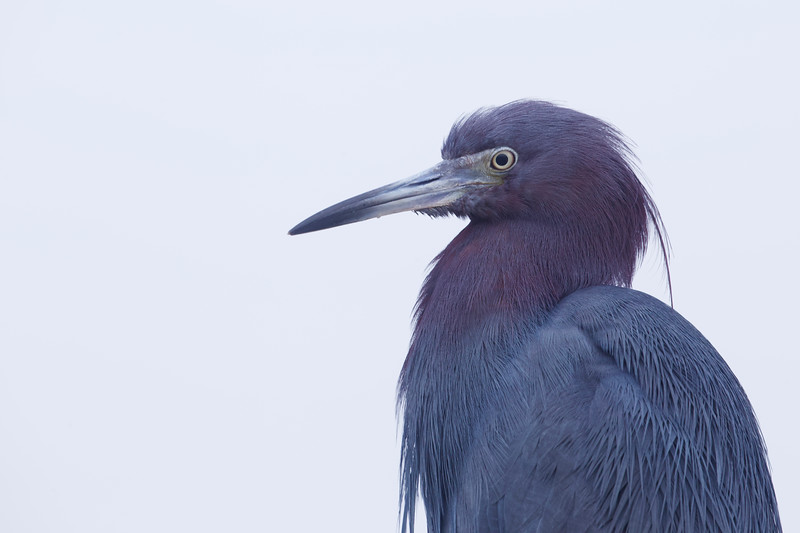 Little Blue Heron, portrait.  Panama City Beach, Florida