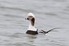 "Long-tailed Duck, formerly called ""Oldsquaw"""