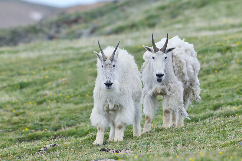Mountain Goat Pair