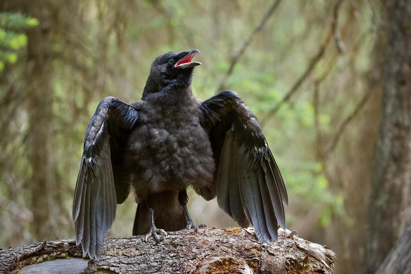 Raven Fledgling
