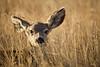Meadow Muley