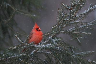 Northern Cardinal in a light snowfall