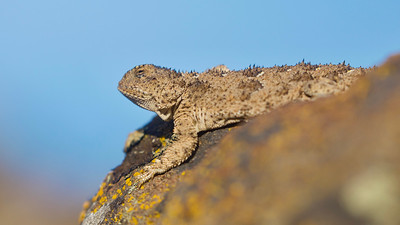 """Short-horned Pygmy Lizard, often referred to as """"horny toads"""""""