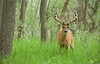 Whitetail Buck sporting a drop tine!