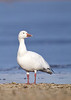 Snow Goose on the shores of frozen-over Lake Galena, Bucks County, Pennsylvania