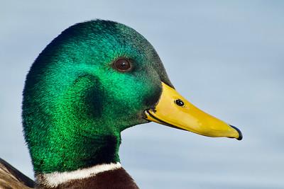 Mallard Drake - close up portrait