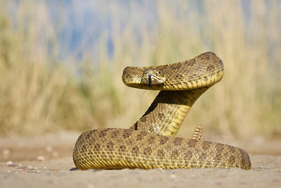 Prairie Rattlesnake coils in a defensive posture