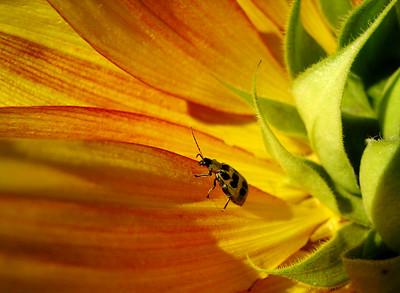 ladybug on a sunflower Amberglen Park, Hillsboro, OR Sept 5, 2005