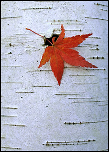 Maple leaf on a birch, near our home. November 6, 2005