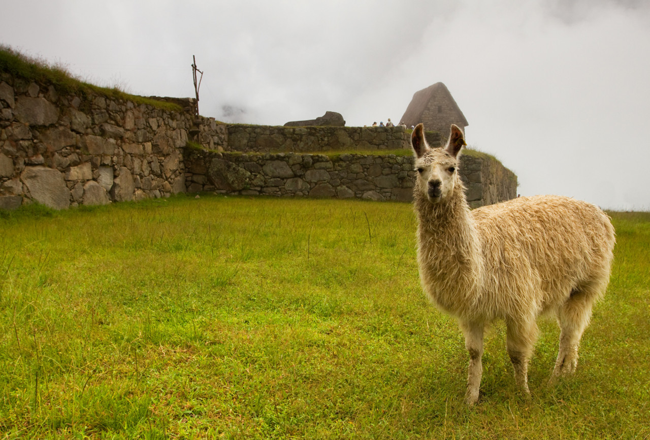 Alpaka - Machu Picchu