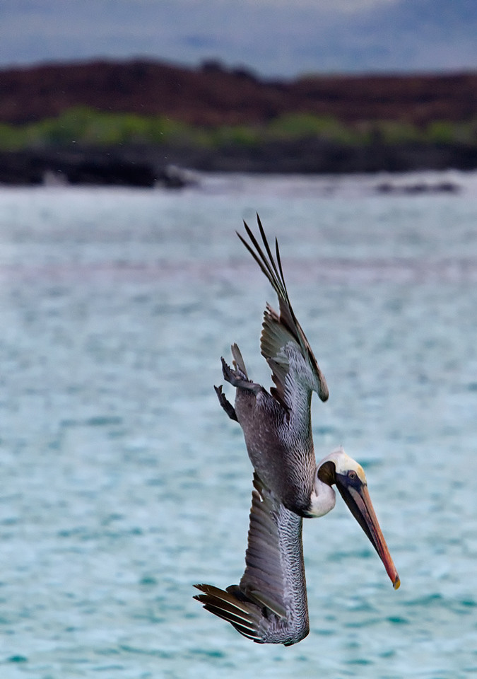 Pelican going for the kill - Galapagos, Ecuador