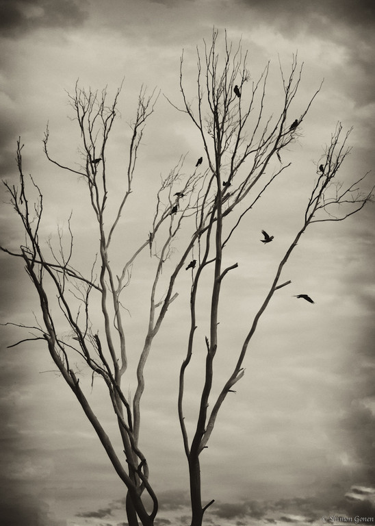 Ravens on dead tree - San Diego