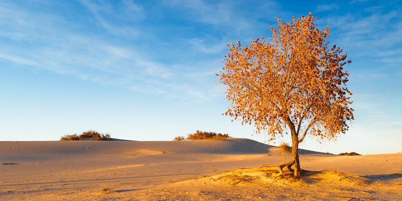 Golden tree - White Sands, New Mexico