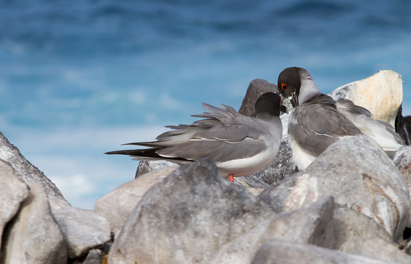 Two Swallow tailed gulls having a moment, Espanola