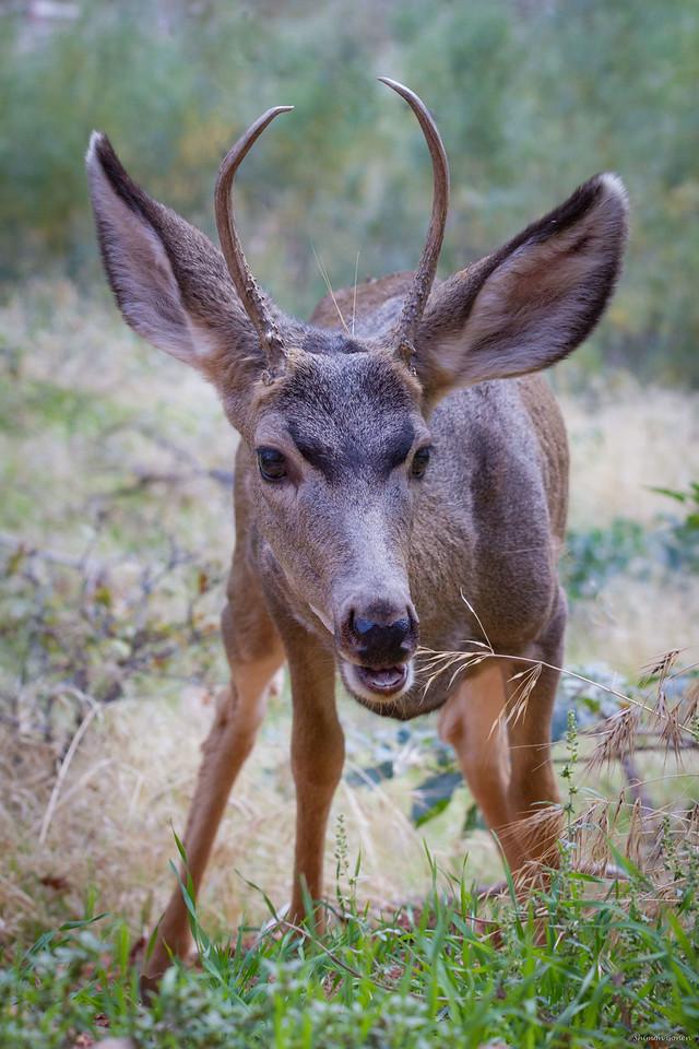 Mule Deer - Zion