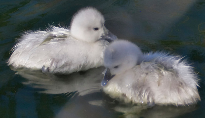 Baby Swans Aswimming